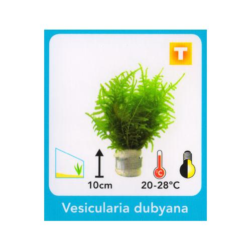 Vesicularia dubyana - Jávai moha