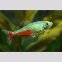 Aphyocharax rathbuni - Zöld pontylazac