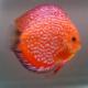 image: Symphysodon - Pigeon Blood red (STENDKER)!!! 6,5 cm