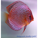Diszkoszhal Red Scribbelt (STENDKER)!!! 8 cm
