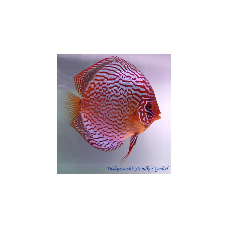 image: Symphysodon - Red Scribbelt (STENDKER)!!! 8 cm