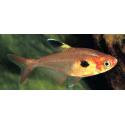 Hyphessobrycon sweglesi - Vörös fantomlazac