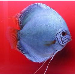 image: Symphysodon - Kobalt (STENDKER)!!! 8 cm
