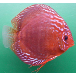 Diszkoszhal Alenquer Red (STENDKER)!!! 10 cm