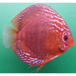 image: Symphysodon - Alenquer Red (STENDKER)!!! 14 cm