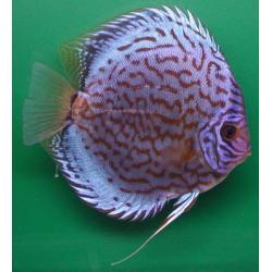 image: Symphysodon - Brilliant türkiz diszkosz (STENDKER)!!! 14 cm