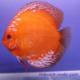 image: Symphysodon - Marlboro Red (STENDKER)!!! 10 cm