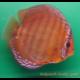 image: Symphysodon - Santarem (STENDKER)!!! 8 cm