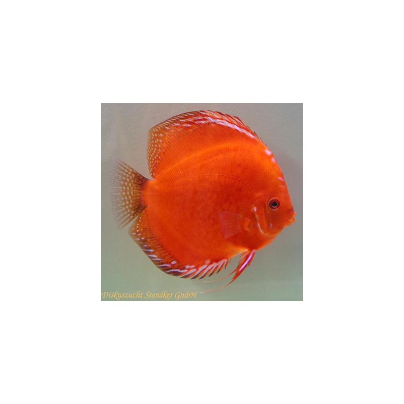 image: Symphysodon - Solid Red Fire (STENDKER)!!! 8 cm