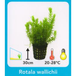 image: Rotala walichii