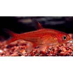 Hyphessobrycon amandae - Amandalazac