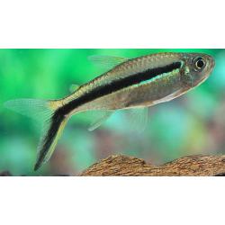 image: Thayeria boehlkei - Ferdénúszó pontylazac