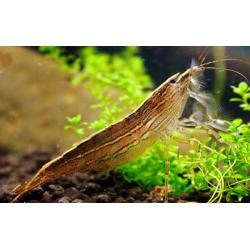 image: Atyopsis moluccensis - Legyezőgarnéla