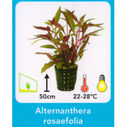 image: Alternanthera rosaefolia