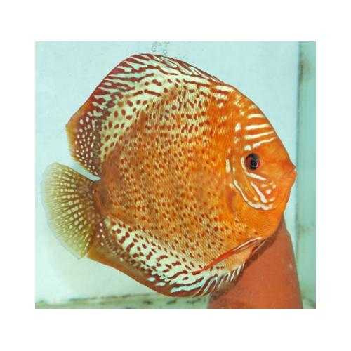 Diszkoszhal Tefé (STENDKER)!!! 6,5 cm