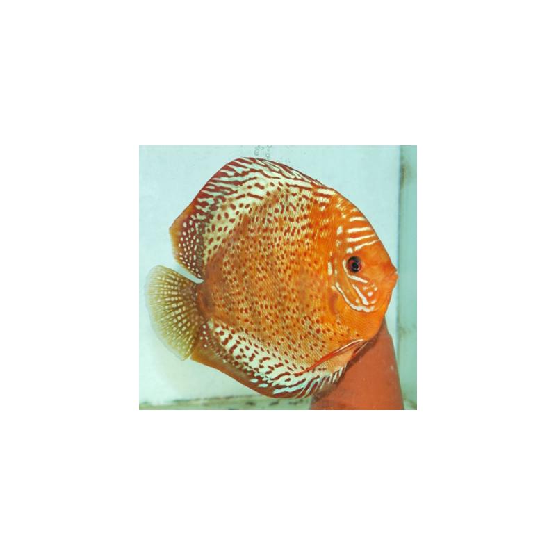 image: Symphysodon - Tefé (STENDKER)!!! 6,5 cm