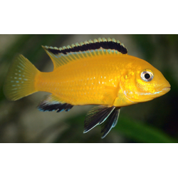 image: Labidochromis caeruleus yellow - Aranysügér