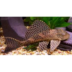 image: Hypostomus plecostomus - Pleco
