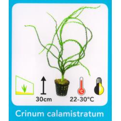 Crinum calimistratum