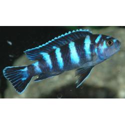 image: Pseudotropheus demasoni