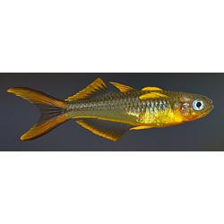image: Pseudomugil furcatus - Villásfarkú kalászhal