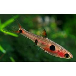 image: Boraras maculatus - Törperazbóra
