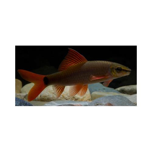 Labeo frenatus