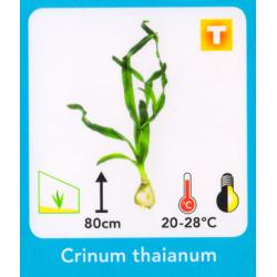 image: Crinum thaianum