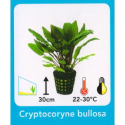 image: Cryptocoryne bullosa