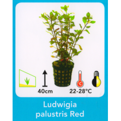 image: Ludwigia palustris red