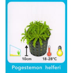 image: Pogostemon helferi