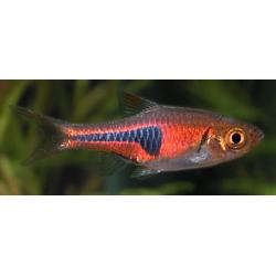 image: Trigonostigma hengeli - Izzófényű razbóra