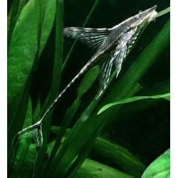 image: Sturisoma aureum XL