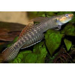 image: Stiphodon sp. - Algázó géb