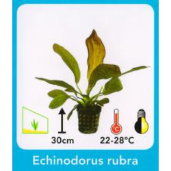 image: Echinodorus rubra