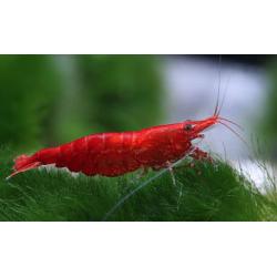 "image: Neocaridina heteropoda var. ""Red"" - Sakura garnéla"