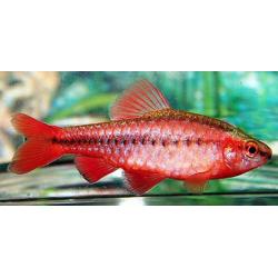image: Puntius titteya - Vörös karcsú díszmárna
